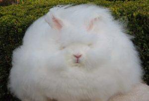 Забавный ангорский кролик