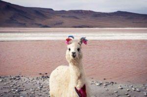 чудесная альпака в горах Боливии